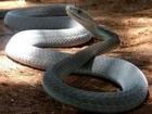 [Animal Documentary 2014] Black Mamba Snakes - Africa's Most Dangerous Snake - NEW Documentary
