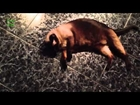 Funny Dogs Playing Dead After Finger Shot Compilation 2014 [NEW HD]