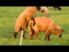 Farm Animals Mating Funny Animal Love YouTube