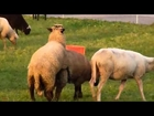 Bull funny Farm Animal funny and Love Cow Animals