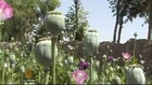 Afghanistan sees rise in poppy cultivation